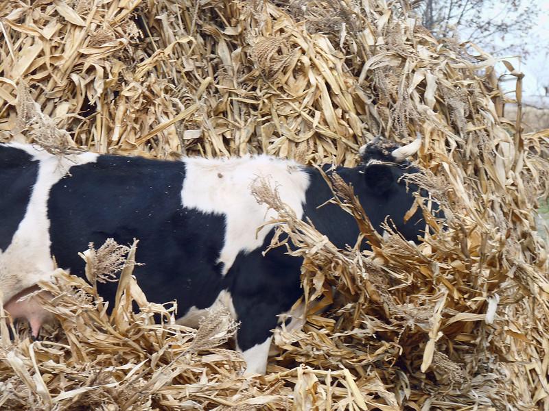 A cow amongst the husks.