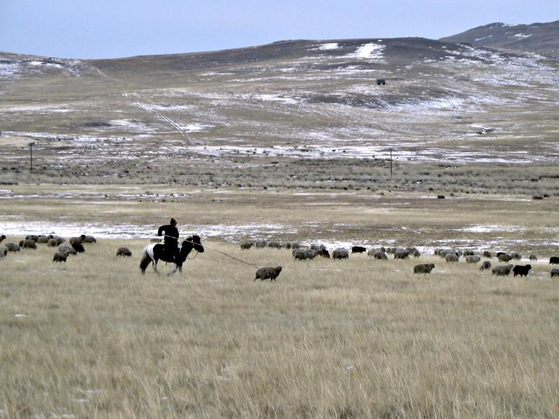 Sheep herding on the steppe. (Buryatia, Russia)
