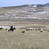 Sheep herding on the steppe. (Buryatia, Russia)