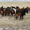 Steppe horses.