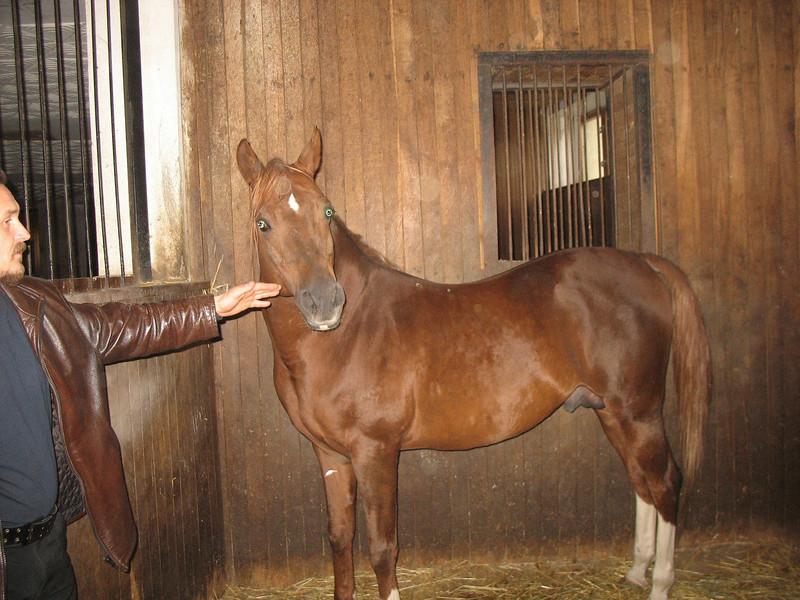 Russian-Arabian stallion. Tersky Horse Farm.