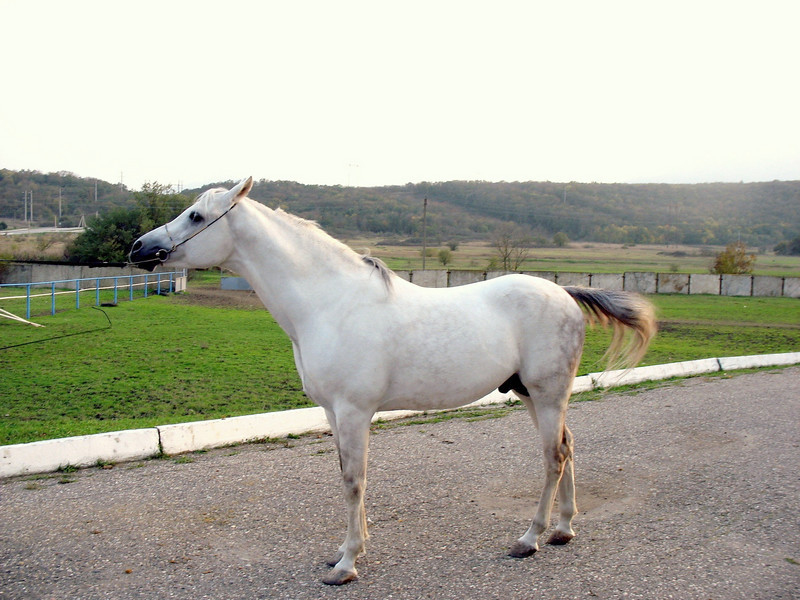 Prime Minister Putin's beautiful Russian-Arabian stallion stabled at Tersky Horse Farm.