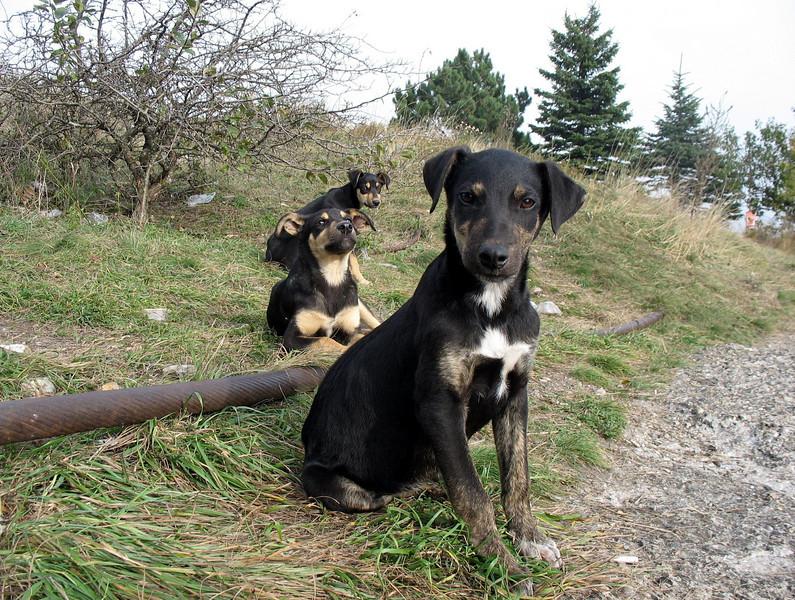 Wild puppies atop Mt. Mashuk.