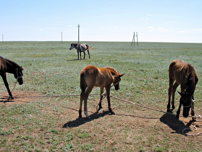 Tied-up, grazing horses on the Kalmykian steepe.