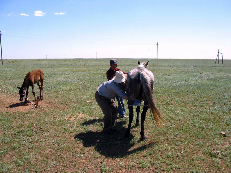 Milking a mare on the Kalmykian steppe.