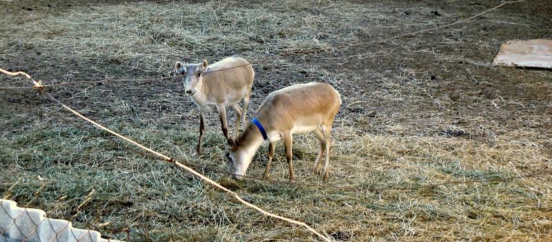 Rare Asian Saiga Antelopes.