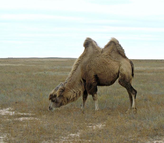 Camel Grazing