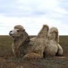 Steppe camel.