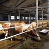 Kaluga dairy farm.