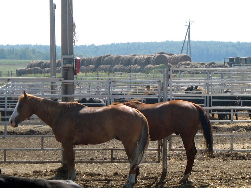 Horses at the cattle ranch. (Kaluga, Russia)