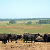 Aberdeen Angus cattle. (Kaluga, Russia)