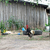 Chickens in Borovsk.