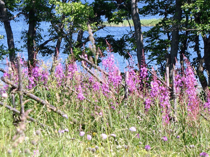 Wild flowers (pink). (Kizhi)