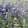 Wild flowers (blue). (Kizhi)