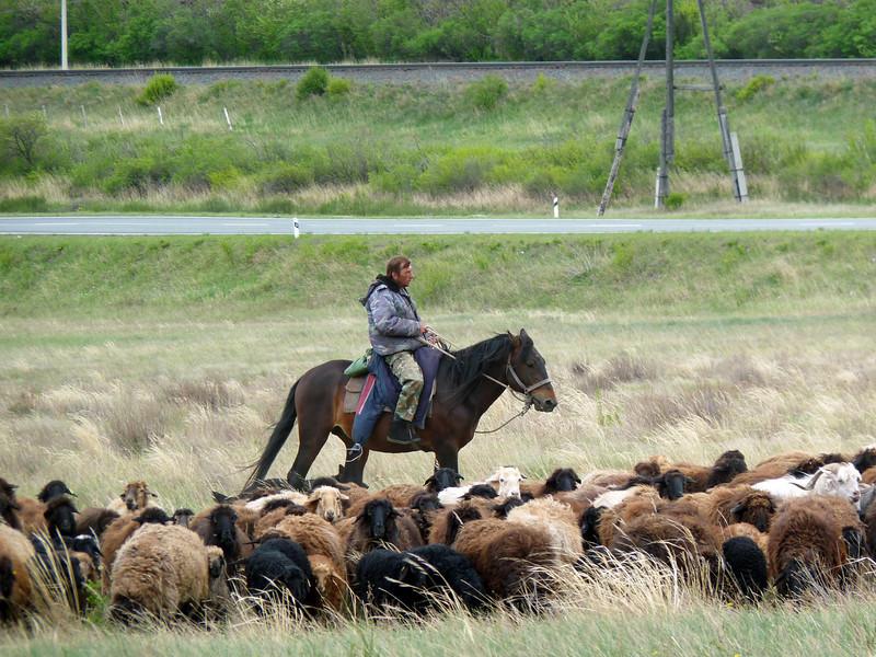 Sheep herding outside Salt Lake Village.