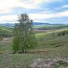 Lone birch.