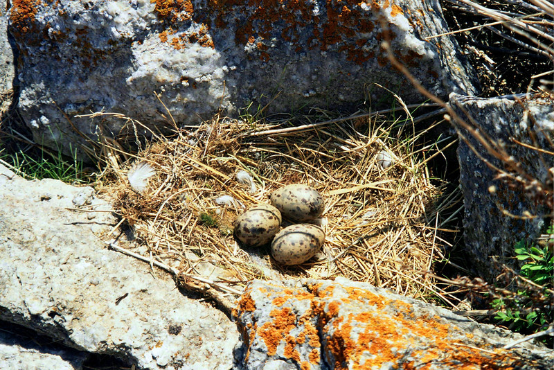 Seagull eggs, Lake Baikal.