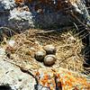 Seagull eggs, Lake Baikal.