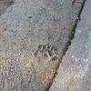 Bear paw print.