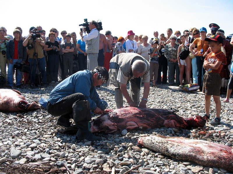 Butchering seals on the beach.