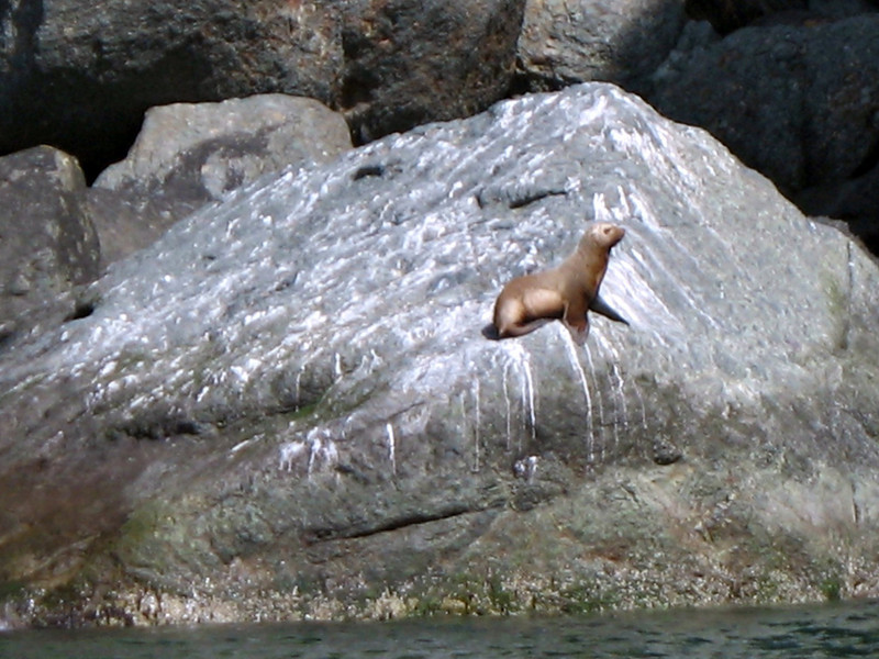 Sea lion. Koni Peninsula.