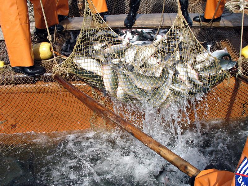 Bringing in the catch.  Cape Nuklya, Russia. (RS)
