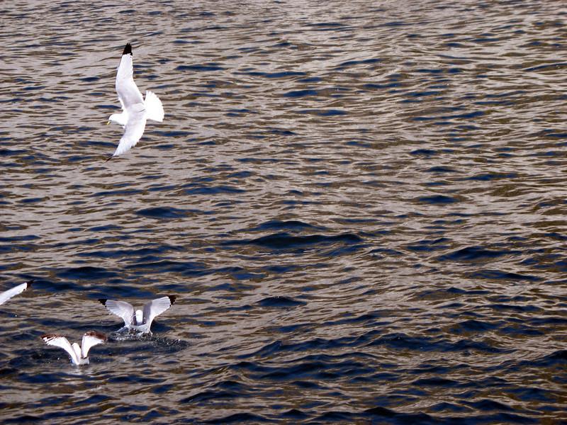 Seagulls. Sea of Okhotsk.