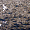 Seagulls. Sea of Okhotsk.