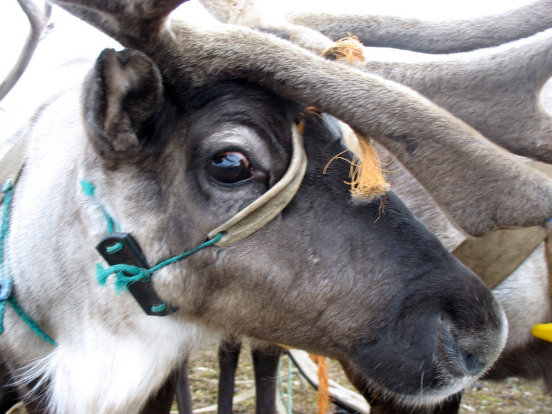 Most of the clan's reindeer aren't domesticated and are quite skittish around people. You can see the anxiety in this reindeer's eye.