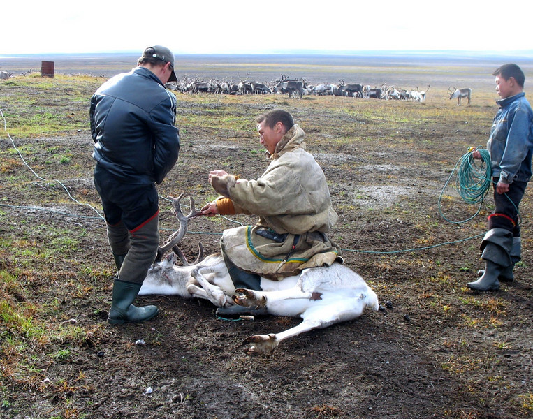 Having been lassoed, this reindeer will have a cut made to his ear to define ownership.