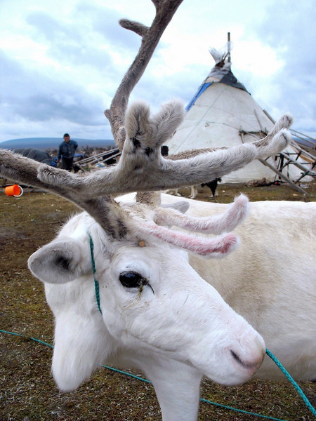 White reindeer with typical Nenets chum (tent) in the background.
