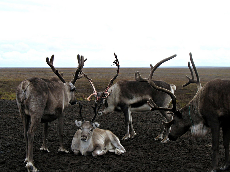 Reindeer resting on the tundra.