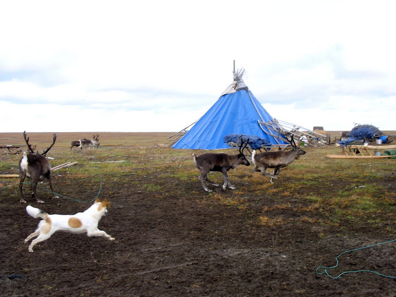 Dog herding reindeer.