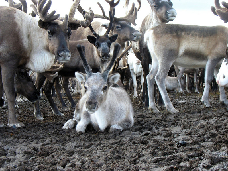 A young reindeer amongst the herd.