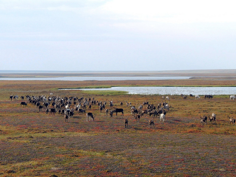 Reindeer grazing on the tundra.