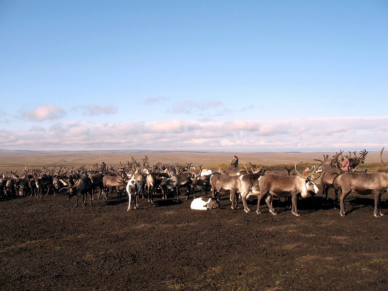 The Yamp-to clan's reindeer herd on the tundra.