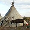 Reindeer & sledge near Nenets chum (tent).