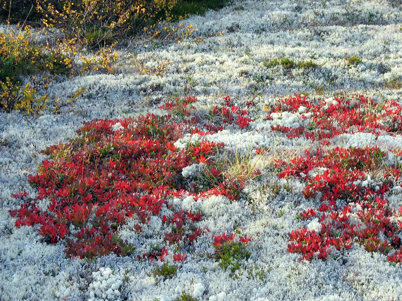 Tundra grasses. The white ground covering, called Reindeer Moss, is a reindeer favorite; the red develops berries favored by bears.