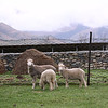 Dargavs village sheep.