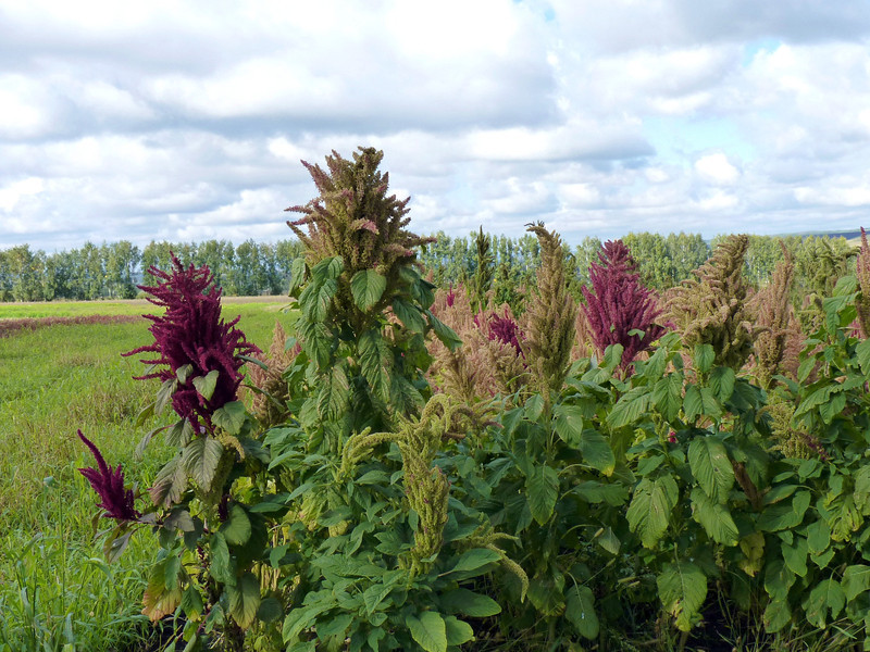 Amaranth is grown here to make cooking oil.