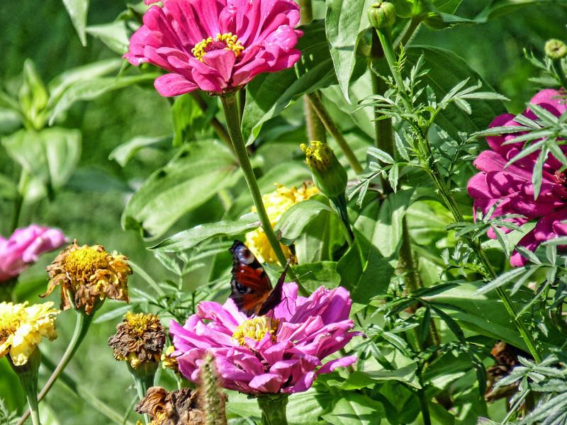Zinnias & butterfly.
