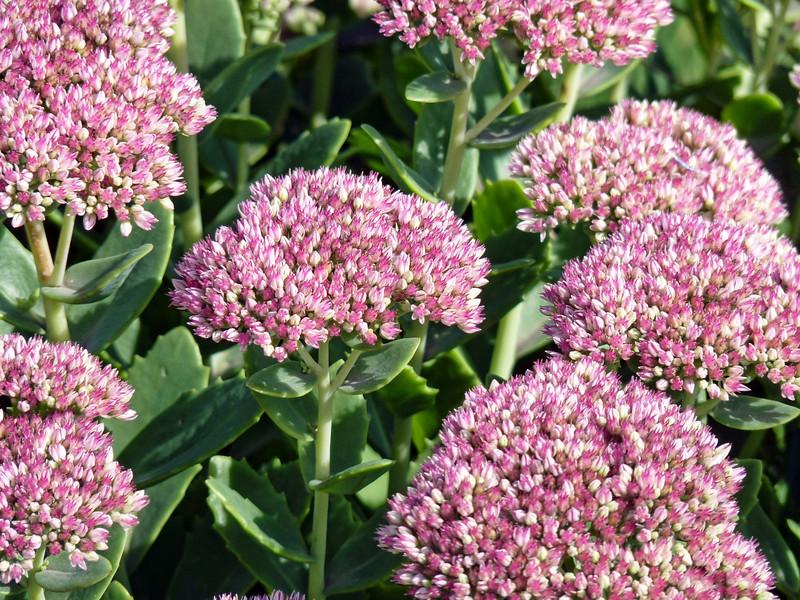Очеток. Flowering Sedum.
