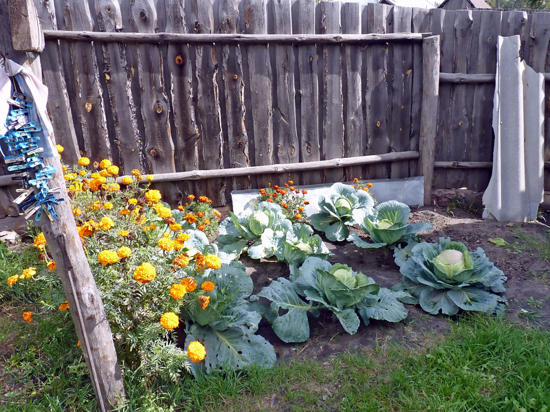 Some big cabbages.