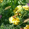 Marigolds & butterfly.