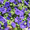 Blue petunias.
