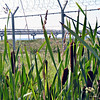Reeds & barbed wire.