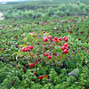 Wild red whortleberries a.k.a. lingonberries.