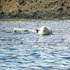 Spotted white seals.