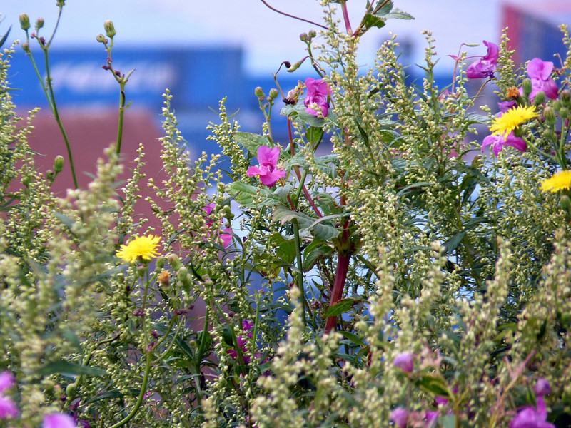 Sakhalin wildflowers.