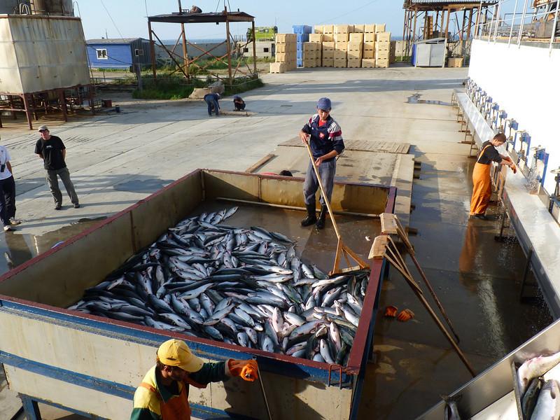 Tunaycha Salmon Company. (Sakhalin, Russia)